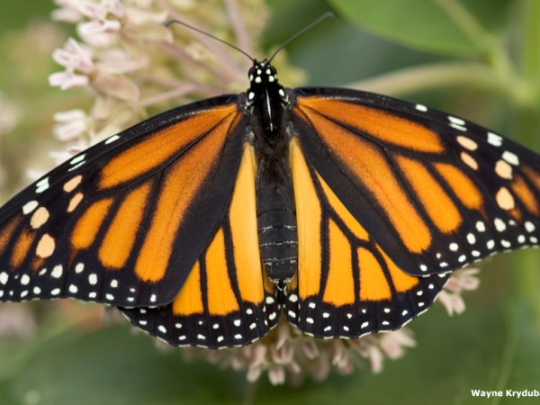 Facts About Monarch Butterflies