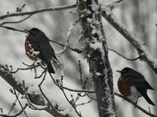 Robins puff their feathers for warmth during first snow.
