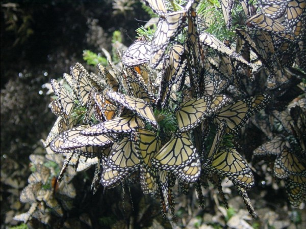 At this coldest time of year, monarchs are at the greatest risk of mortality from deadly winter storms.