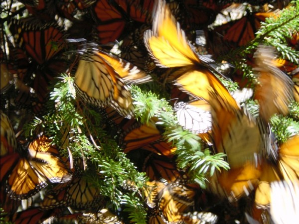 Monarchs that survive four winter months will mate and begin the journey north in March. Join us for weekly updates on Feb. 8, 2018.