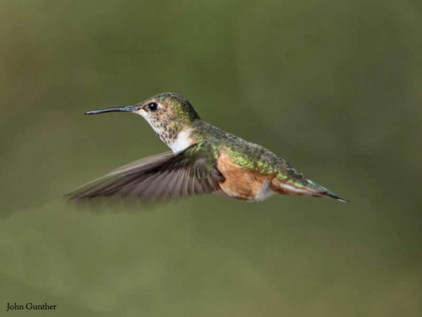 Rufous hummingbird overwintering in South Carolina