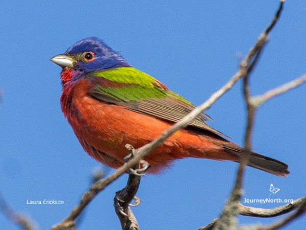 Painted Bunting by Laura Erickson