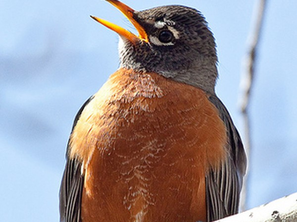 Singing Male Robin