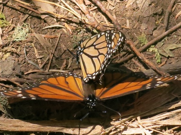 Monarch Butterflies Mating at El Rosario Sanctuary in Mexico