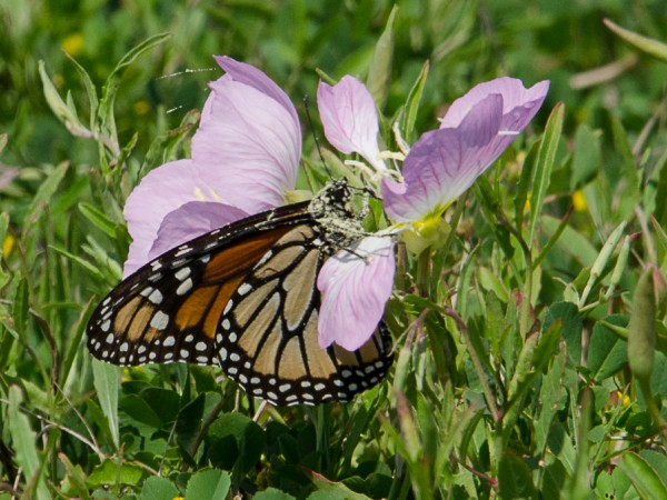 One of the 200 monarchs sighted in Bay City, Texas on March 12th.
