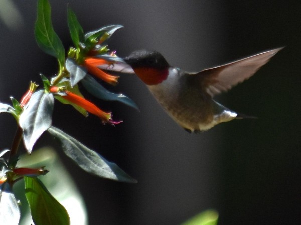 Ruby-throat nectaring on Cuphea