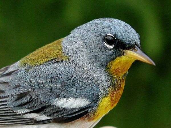 Northern parula, Penn State