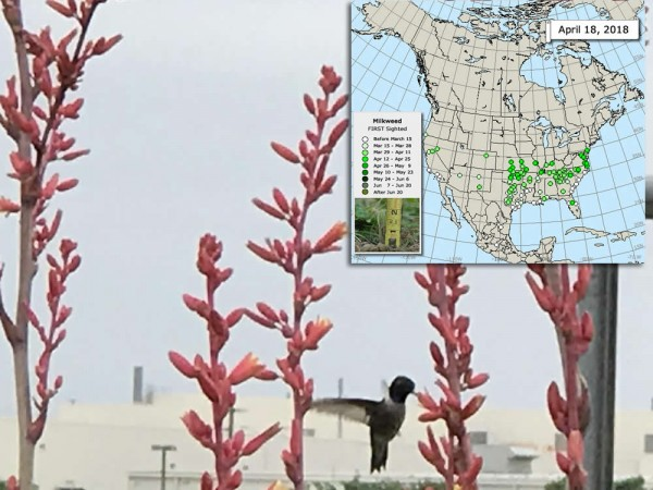 Hummingbird nectaring on flowers with inset map showing milkweed map.