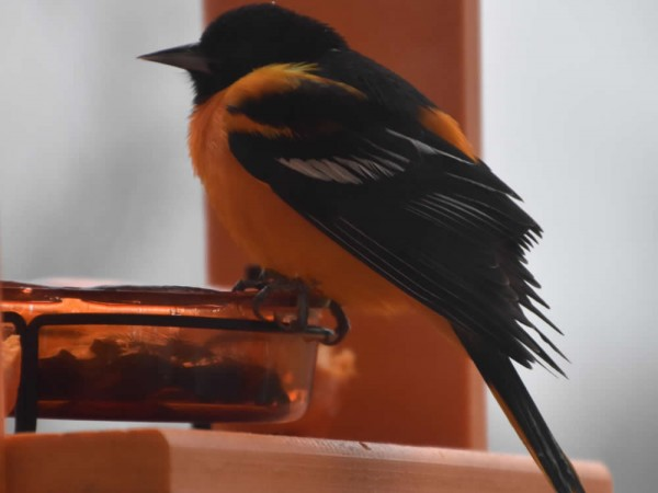 Baltimore Oriole at the feeder