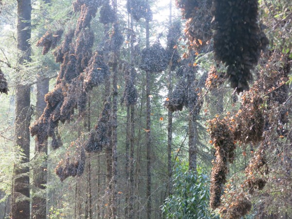 Monarch Butterflies at El Rosario Sanctuary in Mexico on April 3, 2018
