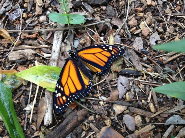 First Generation Monarch in Austin, Texas on May 1, 2018