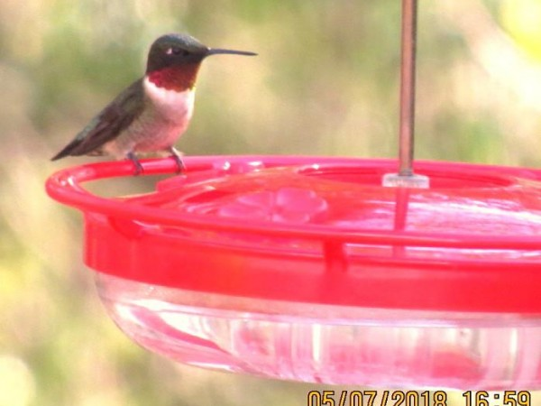 Male Ruby-throat in Maine