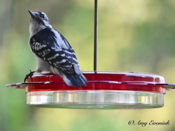 woodpecker on nectar feeder