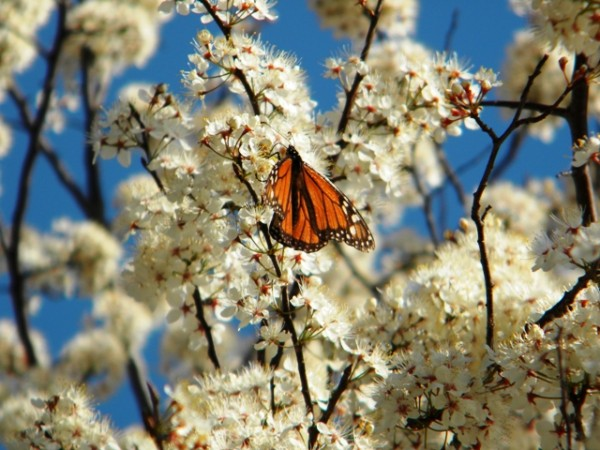 Monarch Butterfly Nectaring on Spring Blossoms