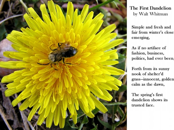 Dandelion poem by Walt Whitman