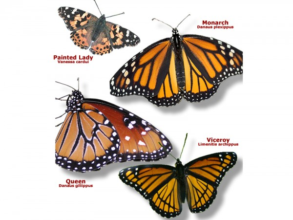 Butterfly Identification Images