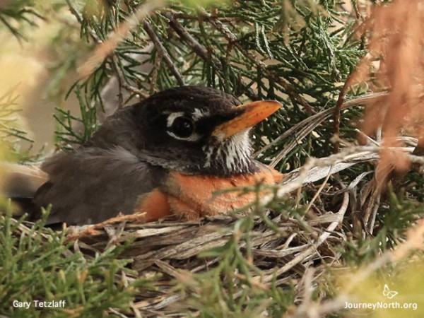 Robin in the nest by Gary Tetzlaff