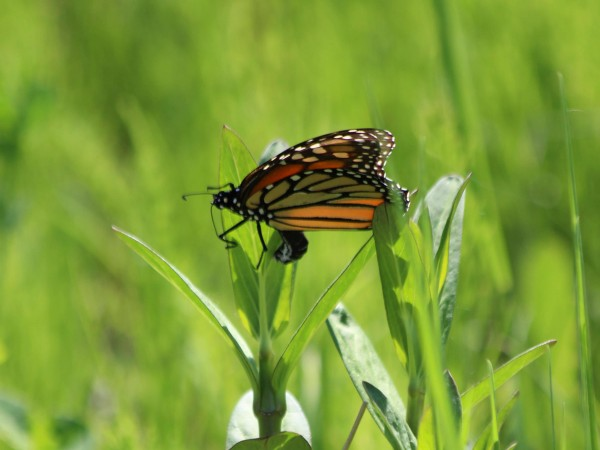 Monarch Butterfly Laying Eggs in Ontario