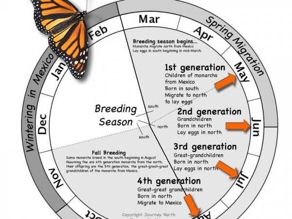 Monarch Butterfly Annual Cycle