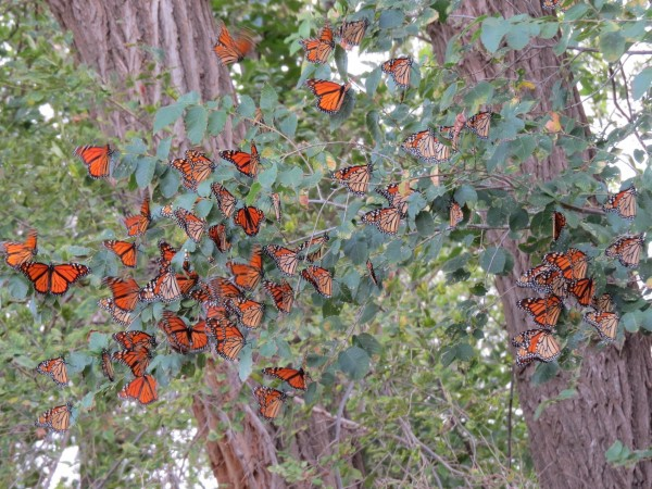 Image of roosting monarchs by Leah Horsley