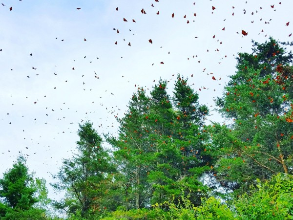 Monarch butterflies roosting in Tawas Point, Michigan