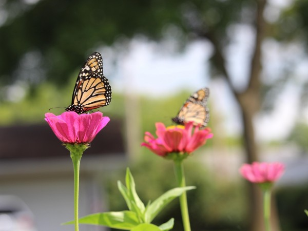 Monarch butterflies nectaring in Orleans, IA