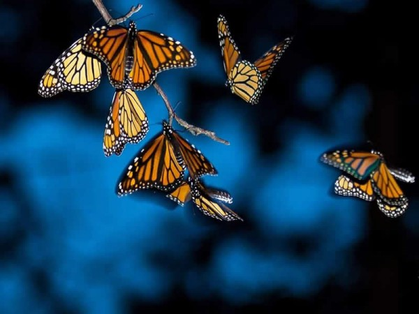 Monarch butterflies roosting in Perrysburg, Ohio