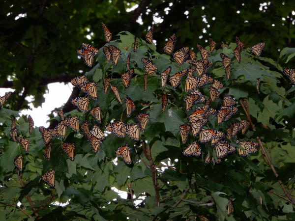 Monarch butterflies roosting in Put-in-Bay, Ohio by Candy Sarikonda