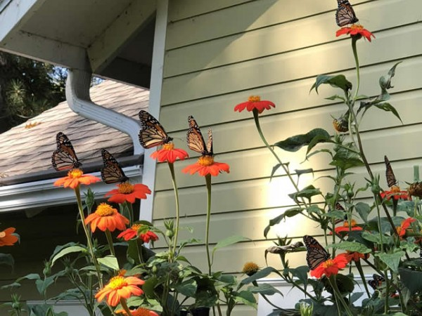 Monarch butterflies nectaring in Red Wing, MN