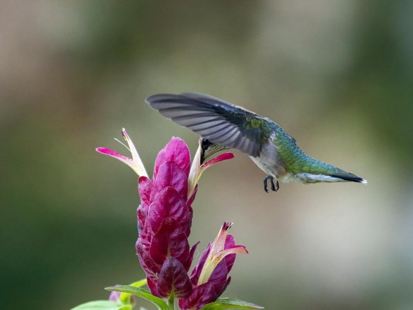 Image of hummingbird by Bud Hensley