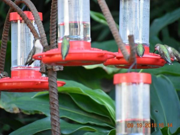 Image of hummingbirds by Glenda Kee
