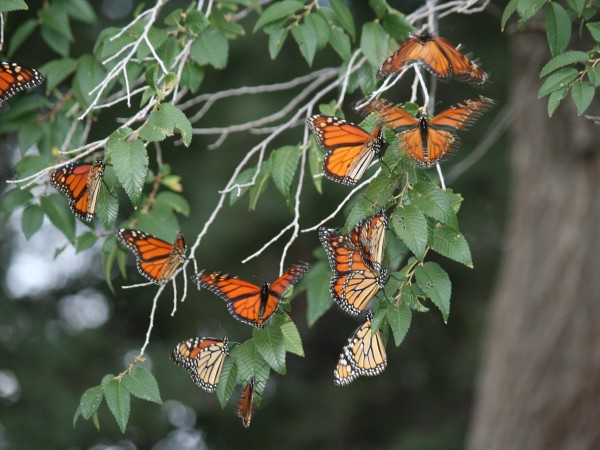 Monarch Butterfly Roost in New Mexico by Betty Williamson