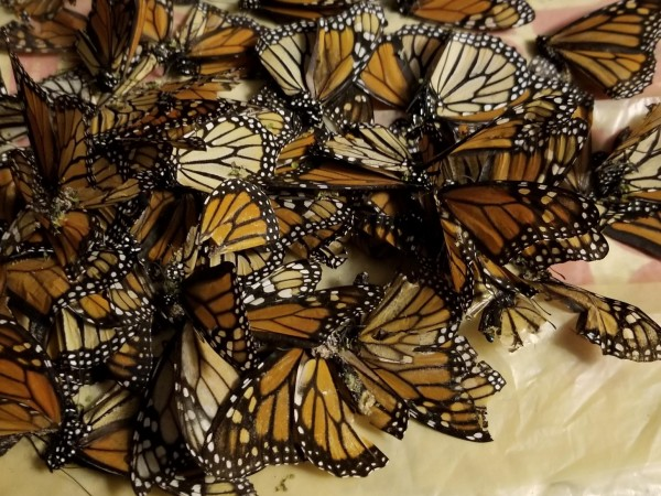 Monarch Butterflies by Sue Foster