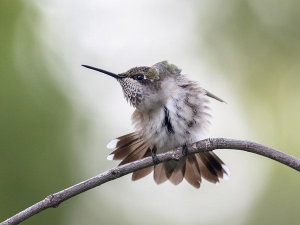 Image of Hummingbird Preening by Bud Hensley