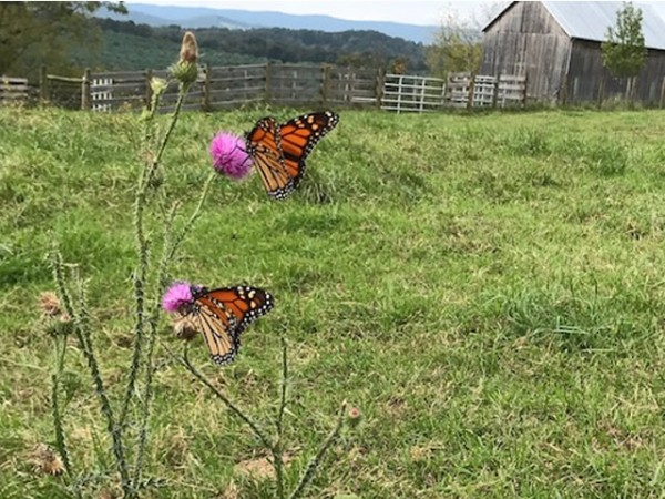 Monarch butterflies by Chris Fox