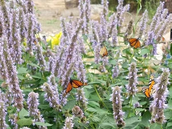 Monarch Butterflies in Garden by Cynthia Robinson