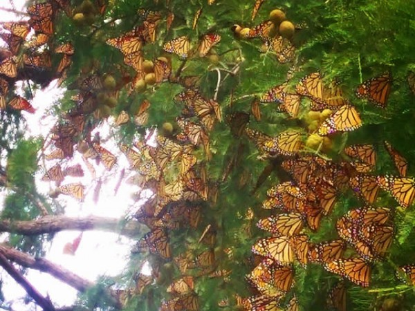 Monarch Butterflies Roosting by Amy Lindemann