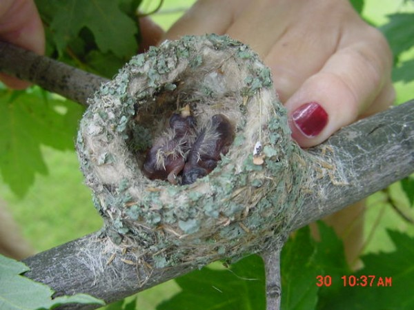 Image of hummingbird in nest by Dorothy Edgington