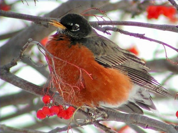 American Robin by Anne Cook