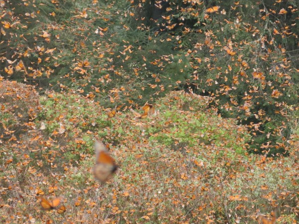 Monarch Butterflies at El Rosairo Sanctuary in Mexico on February 26, 2018 by Estela Romero