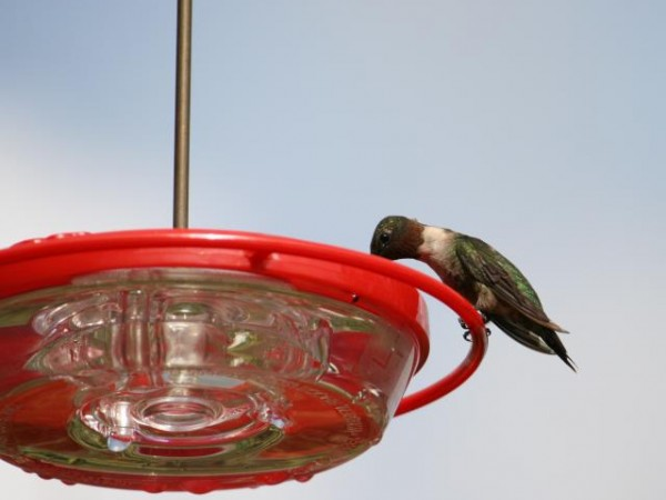 Ruby-throated hummingbird, Cocoa, FL