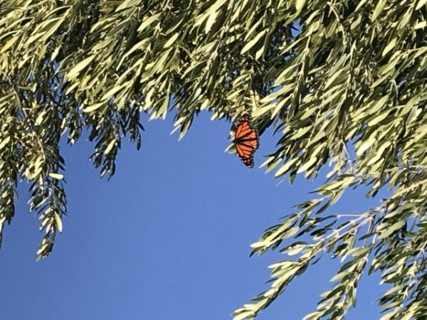 Monarch resting on an olive tree
