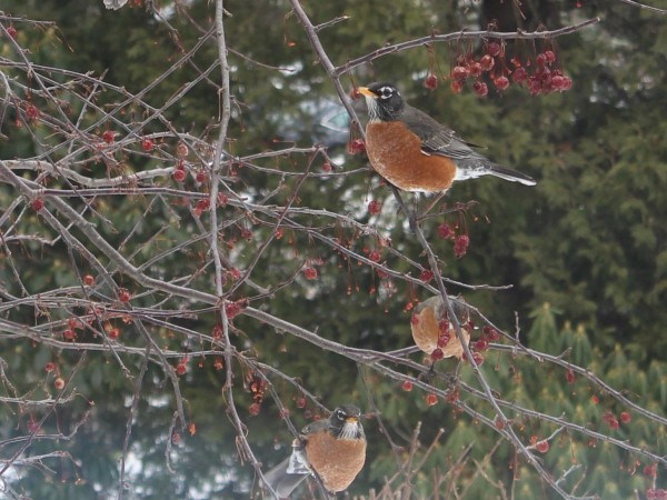 American Robins feasting on berries.