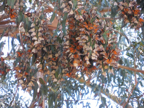 Monarch Butterfly Grove, Pismo Beach, CA