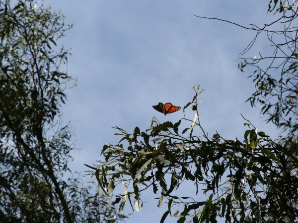 Just a Few Monarchs Left, Goleta, CA. Photo by: Charis van der Heide
