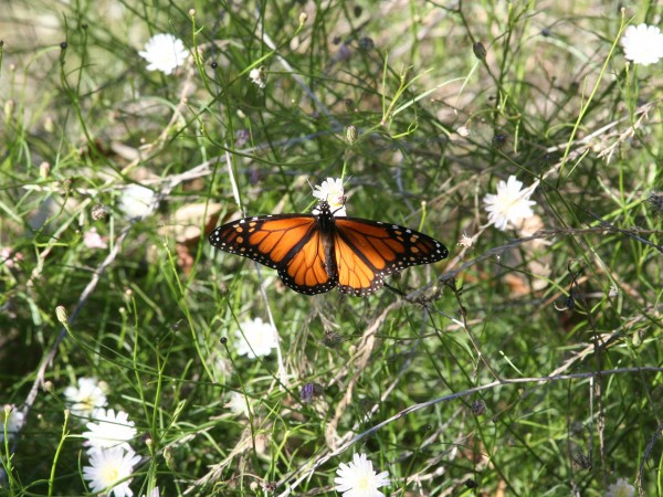Monarch nectaring, Goleta, CA Photo by: Charis van der Heide