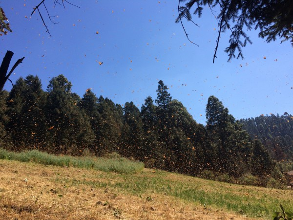 Monarch Butterflies at El Rosairo Sanctuary in Mexico