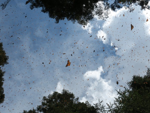 Monarchs at El Rosario Sanctuary on February 24, 2019 by Estela Romero