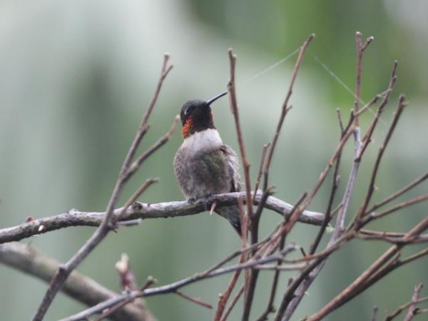 Our first Ruby-throated hummingbird