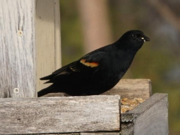 """My first Redwing-blackbird,"" reported Jim from Tay, Ontario (03/14/2019)"